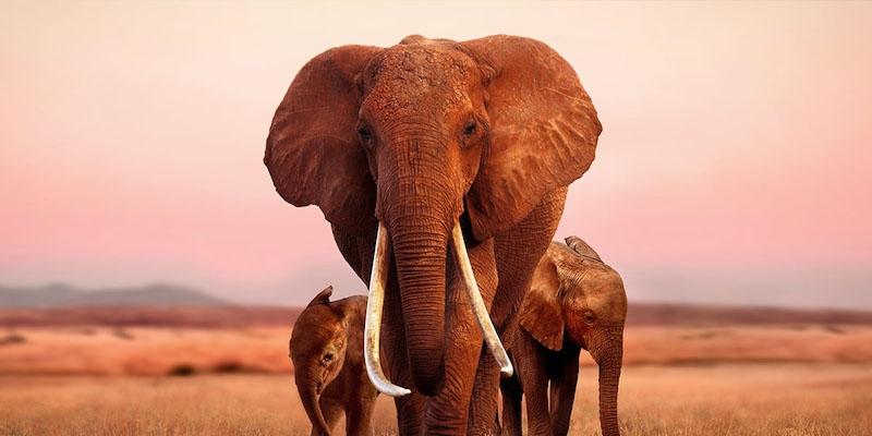 The Elephant Queen Apple